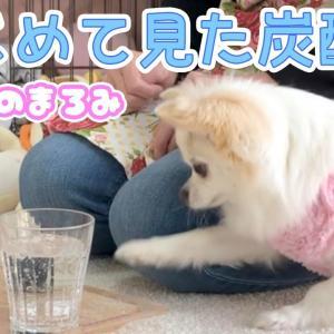 チワワに炭酸水を見せるとこうなりました【可愛い】 #犬動画 #かわいい犬 #わんこ