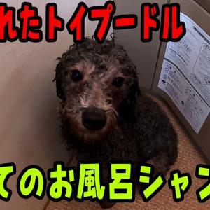 捨てられたトイプードル初めてのお風呂でのシャンプーはどうなる? #犬動画 #かわいい犬 #わんこ