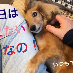 ミニチュアダックスフンド 今日は甘えたい気分なの…MiniatureDachshund  Dachshund #犬動画 #かわいい犬 #わんこ