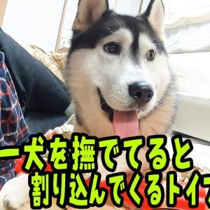ハスキー犬をなでなでしてるとトイプードルが割って入ってくる Husky and Poodle #犬動画 #かわいい犬 #わんこ