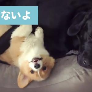 「眠くないもん!」と大きなワンコに反抗するコーギーが可愛い🤣💕【PECO TV】 #犬動画 #かわいい犬 #わんこ