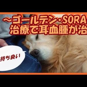 大型犬と暮らす。かわいい大型犬  ゴールデンレトリバー 突然の耳血腫!内科的治療で治る。 Golden Retriever #犬動画 #かわいい犬 #わんこ