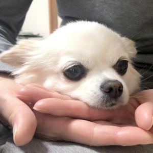 【ミニ動画】得意技の「あごトン」が可愛い【チワワのまろみ】 #犬動画 #かわいい犬 #わんこ