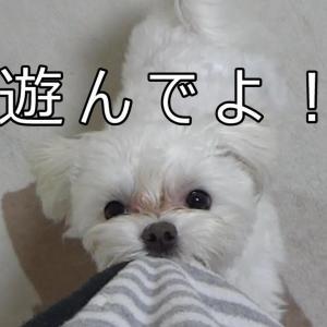 【マルチーズ】早く遊んでほしい時の愛犬のとる行動   ~Action to take when my dog wants to play early~ #犬動画 #かわいい犬 #わんこ