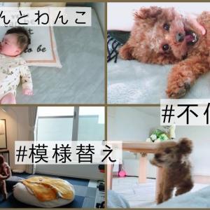 パパのお部屋を模様替えした日♪ トイプードルのTaruto&Rasuku #犬動画 #かわいい犬 #わんこ