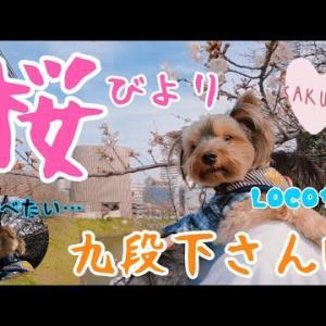 3月上旬の九段下を桜を見ながら可愛いヨーキーとのんびりお散歩🐶🌸靖国神社〜日本武道館【お花見】 #犬動画 #かわいい犬 #わんこ