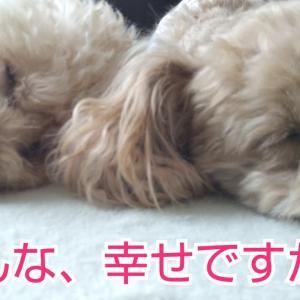 のんちゃんの攻撃は 、お尻プリっ【トイプードルの🐕りん&のん】おまけが、可愛い❤️ #犬動画 #かわいい犬 #わんこ