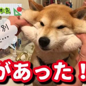 【柴犬】どこまで伸びるか!?可愛い笑顔になっていただけるように頑張って伸ばしてみた柴犬の本気【shibainu】※クイズ超超難問あります。 #犬動画 #かわいい犬 #わんこ