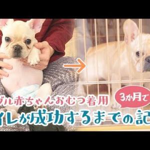フレンチブルドッグ赤ちゃんのオムツ姿がかわいい!お迎えからトイレ成功するまでの3ヶ月の記録 [フレブル赤ちゃんのルーティン] #犬動画 #かわいい犬 #わんこ