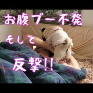 お腹ブーするも不発に終わり反撃される パグ犬ぷぅ Pug #犬動画 #かわいい犬 #わんこ