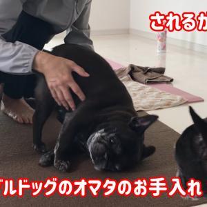 #35 自らゴロンする姿が可愛いフレンチブルドッグのオマタのお手入れの様子 #犬動画 #かわいい犬 #わんこ