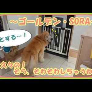 大型犬と暮らす。かわいい大型犬  ゴールデンレトリバー お店が再開~久々のお仕事帰りのお出迎えで大興奮!! Golden Retriever #犬動画 #かわいい犬 #わんこ