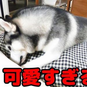 挟まったてしまった犬が可愛い【ハスキー犬はっちゃん 保護犬トイプードル9ちゃん】 #犬動画 #かわいい犬 #わんこ