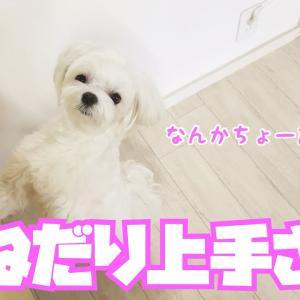 【かわいい】お料理してたら必ずキッチンに現れるおねだり上手のマルチーズ【鶏ハム】 #犬動画 #かわいい犬 #わんこ