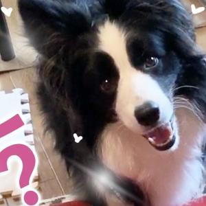 おもちゃを探すボーダーコリー vs 隠したチワワの対決がかわいすぎるw #犬動画 #かわいい犬 #わんこ