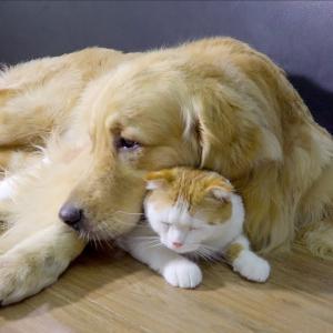 ゴールデンレトリバーを自分のお母さんように思っている猫とうさぎが超かわいい #犬動画 #かわいい犬 #わんこ