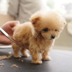 極小パピー、生後3か月の初めてのトリミング(トイプードル) #犬動画 #かわいい犬 #わんこ