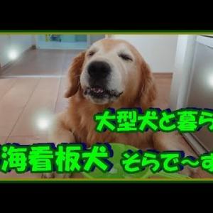 大型犬と暮らす。かわいい大型犬  ゴールデンレトリバー 直下型地震発生の瞬間!地震犬になれる!? Golden Retriever #犬動画 #かわいい犬 #わんこ