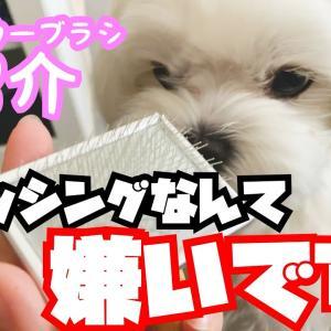 新しいスリッカーブラシを購入したらブラッシング嫌いのマルチーズに怒られました【かわいい】 #犬動画 #かわいい犬 #わんこ