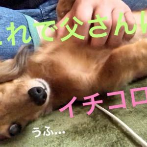ミニチュアダックスフンド 父さんとお知り合い&可愛いボーロアピール(≧∀≦) #犬動画 #かわいい犬 #わんこ