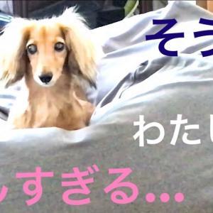 ミニチュアダックスフンド 美しすぎるモモ(´∀`) #犬動画 #かわいい犬 #わんこ