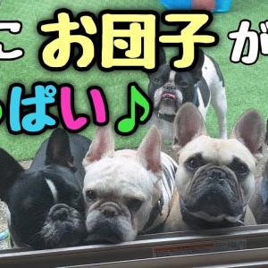 外から可愛いフレブル団子が覗いちゃう素敵な光景 #犬動画 #かわいい犬 #わんこ