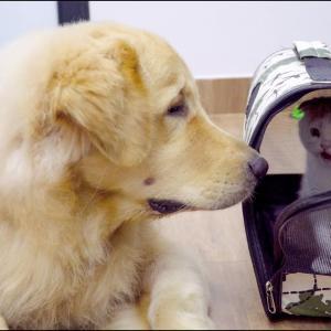 新入り子猫に優しすぎるゴールデンレトリバー・怖がらせない犬の姿が超かわいい #犬動画 #かわいい犬 #わんこ