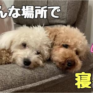 いろんな所で いろんな体制で寝る姿が可愛い トイプードル /マルプー #犬動画 #かわいい犬 #わんこ