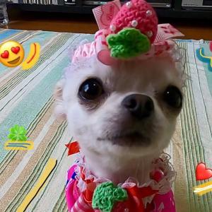 チワワ🐶🐨 バンダナ • ネックレスが可愛い! #犬動画 #かわいい犬 #わんこ