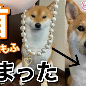 【柴犬】首がもふもふ過ぎて可愛いネックレスが行方不明になりました #犬動画 #かわいい犬 #わんこ