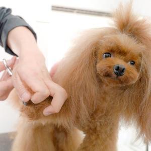 お尻にかわいいチャームポイント(トイプードル トリミング) #犬動画 #かわいい犬 #わんこ