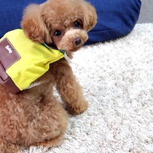 遠足に行く準備をする犬【トイプードルのコロン】 #犬動画 #かわいい犬 #わんこ