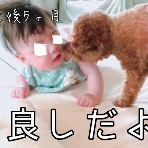 うつ伏せで初対面♪ トイプードルのTaruto&Rasuku #犬動画 #かわいい犬 #わんこ