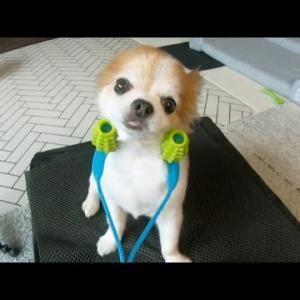 犬用のコロコロを使った時の表情を見ていたら、こっちが癒されてしまいましたw #犬動画 #かわいい犬 #わんこ
