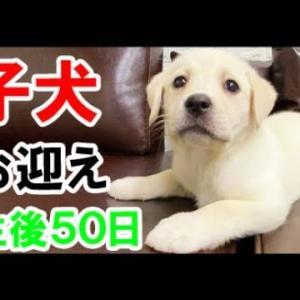 かわいい 子犬(赤ちゃん)お迎えした「ベル」ラブラドールレトリバー 大型犬 K2 #犬動画 #かわいい犬 #わんこ