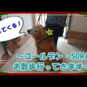 大型犬と暮らす。かわいい大型犬  ゴールデンレトリバー お散歩の準備!今日はどっちに行こうか~? Golden Retriever #犬動画 #かわいい犬 #わんこ