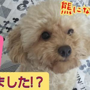 のんちゃんの、おやすみ前はとっても可愛い熊さん【トイプードルの🐕りん&のん】ボサボサくまさん、さようなら #犬動画 #かわいい犬 #わんこ