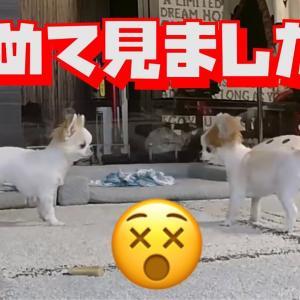 留守番中の犬をペットカメラで見たら色んな事件が起きてて驚きました!😲【チワワ】 #犬動画 #かわいい犬 #わんこ