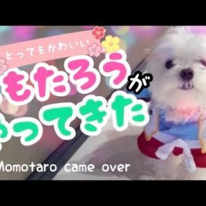 【可愛い!】マルチーズの子犬に桃太郎の着ぐるみを着せてみた!I tried wearing a puppy as a costume #犬動画 #かわいい犬 #わんこ