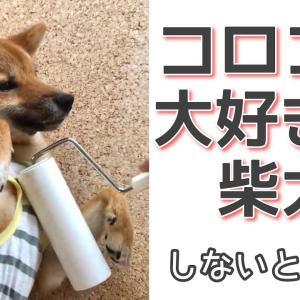 【怒って喋る柴犬】伸ばすオテテも可愛い過ぎます。 #犬動画 #かわいい犬 #わんこ