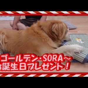 お誕生日プレゼント!涼しく快適に。 ゴールデンレトリバー GoldenRetriever #犬動画 #かわいい犬 #わんこ