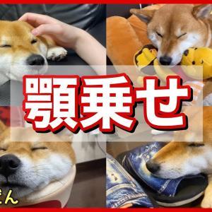 柴犬の顎乗せが反則級に可愛い #犬動画 #かわいい犬 #わんこ