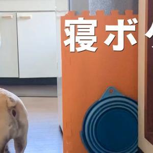 寝ぼけた犬の可愛い行動 #犬動画 #かわいい犬 #わんこ