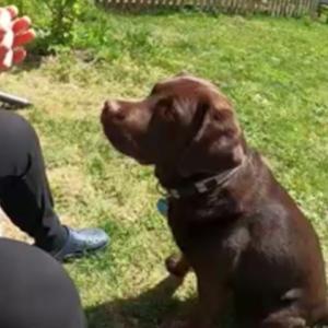 ラブラドールレトリバー【盲導犬】【お家遊び】草笛で遊んでみたら、、 #犬動画 #かわいい犬 #わんこ