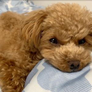 寝床作りがうまく出来ずスネる犬【トイプードルのコロン】 #犬動画 #かわいい犬 #わんこ