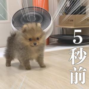 子犬ポメラニアン大はしゃぎ!家中を走り回る姿が超絶かわいい【初ケージ外出編】 #犬動画 #かわいい犬 #わんこ