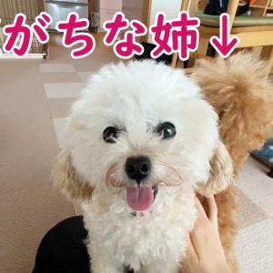 遠慮がちなアピールが健気で可愛い犬 #犬動画 #かわいい犬 #わんこ