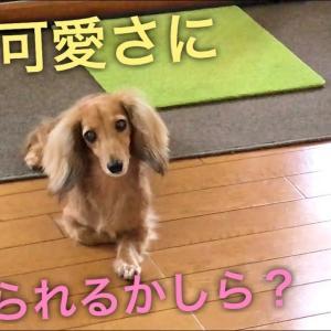 可愛くて仕事になりません(≧∀≦)ミニチュアダックスフンドMiniatureDachshund Dachshund #犬動画 #かわいい犬 #わんこ