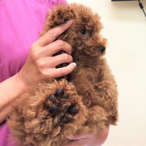 WASABIのワクチン注射が予想通り過ぎて可愛い。「僕を操らないで」 #11 #犬動画 #かわいい犬 #わんこ
