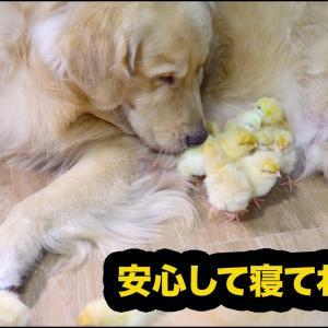【感動】ひよこの母親役になったゴールデンレトリバー犬の種を超えた愛情に心温まる・一緒に蝉を探する姿が超かわいい #犬動画 #かわいい犬 #わんこ
